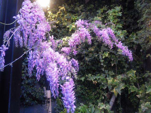 DSCN2201藤の花.jpg